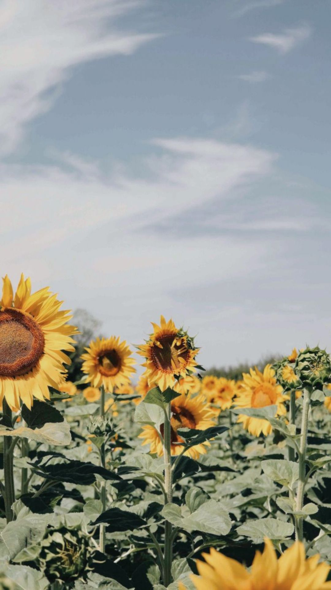 Aesthetic Sunflower Field Wallpapers - Wallpaper Cave