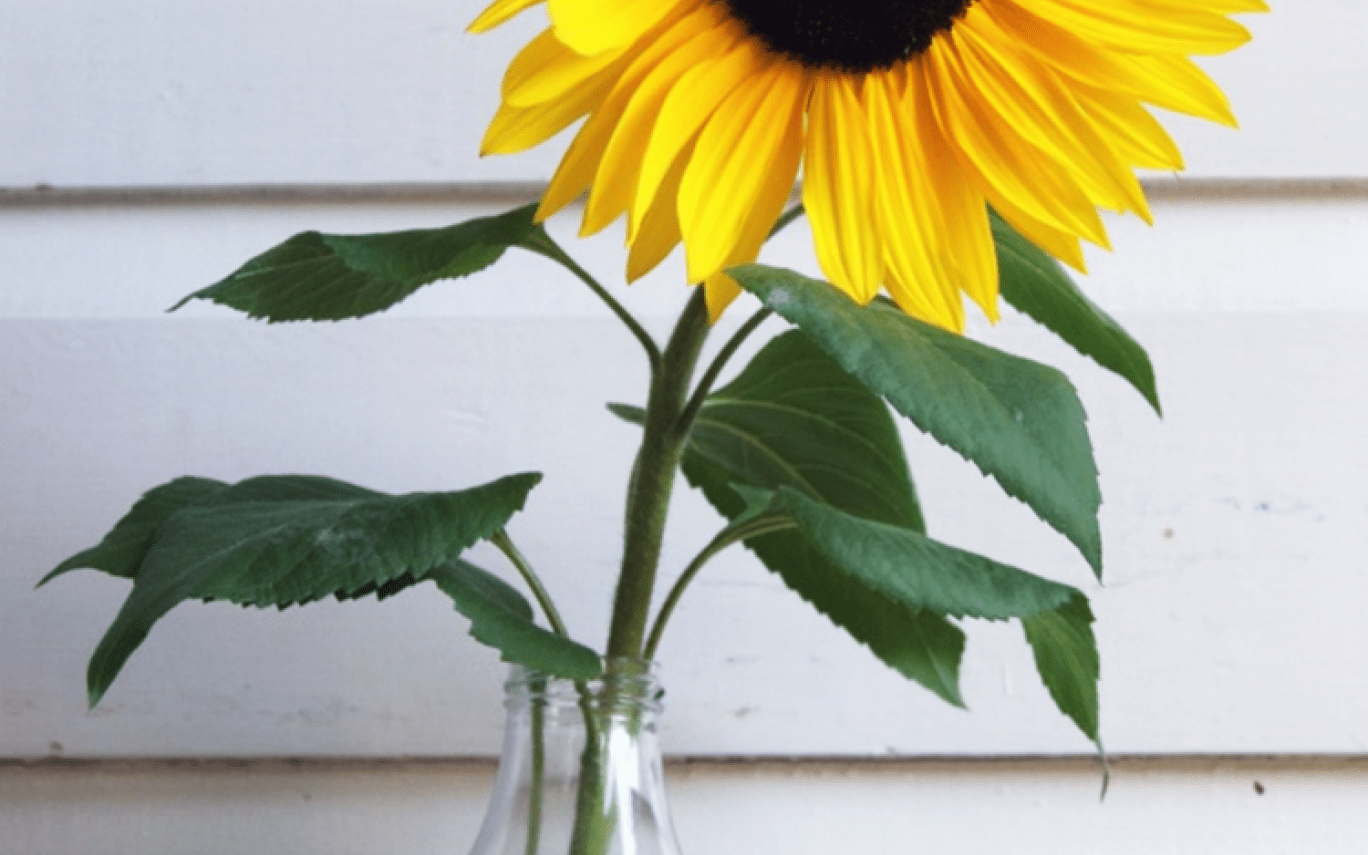 Aesthetic Sunflowers Wallpapers Wallpaper Cave