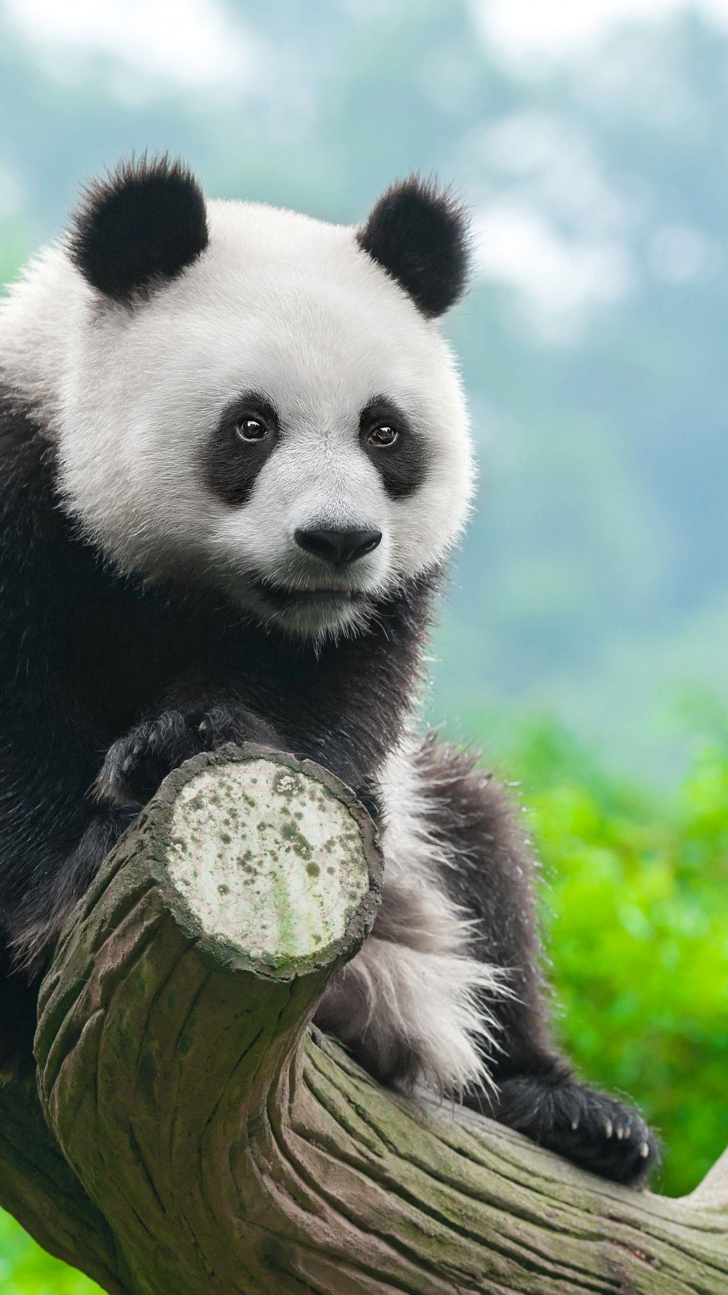 Animals Panda Wallpapers - Wallpaper Cave