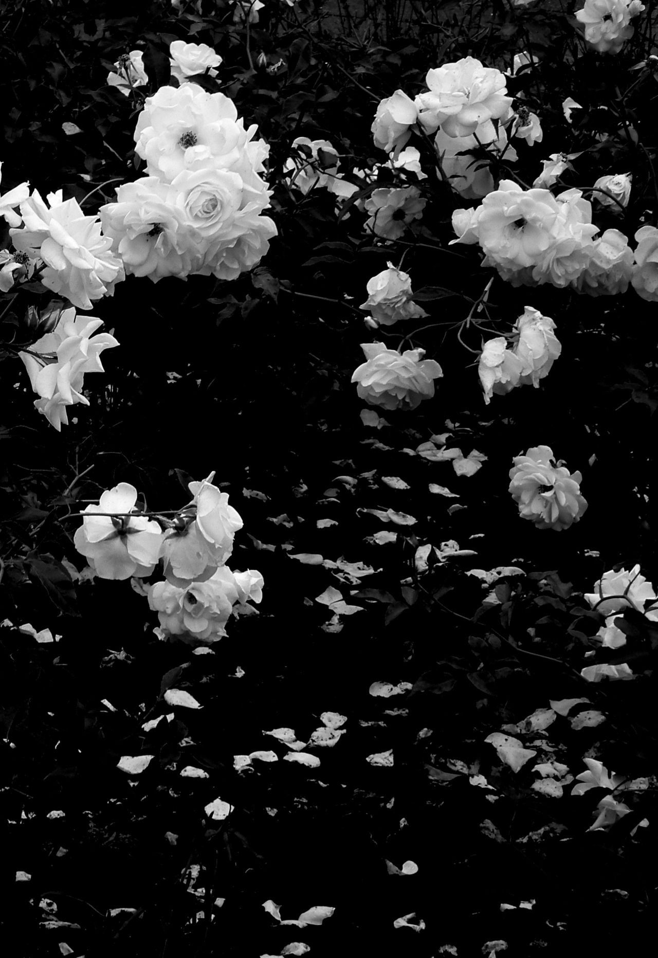 Black And White Aesthetic Roses Wallpapers Wallpaper Cave