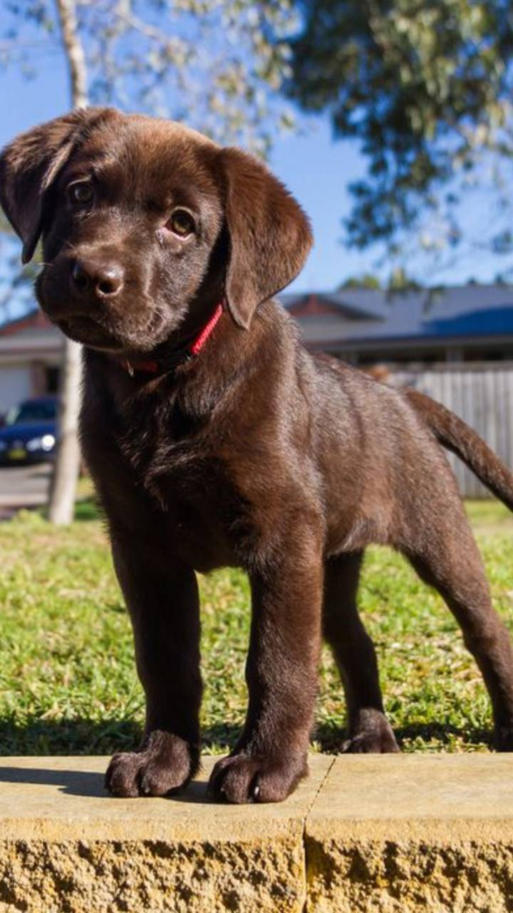 Chocolate Lab Puppies Wallpapers Wallpaper Cave