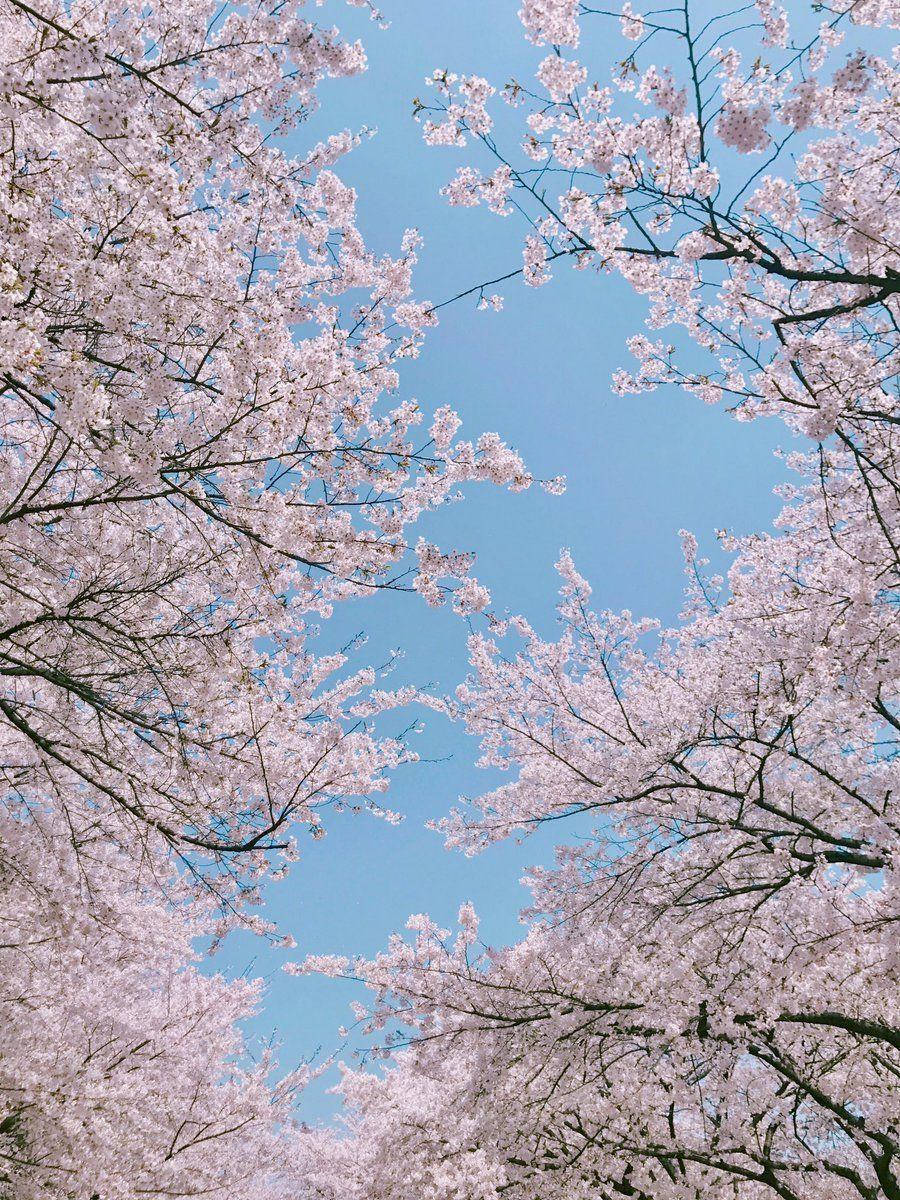 Sakura Tree Aesthetic Wallpapers - Wallpaper Cave