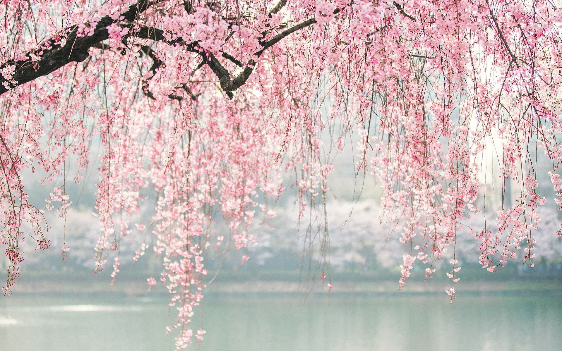 Download Cherry Blossoms Wallpaper Laptop Pictures