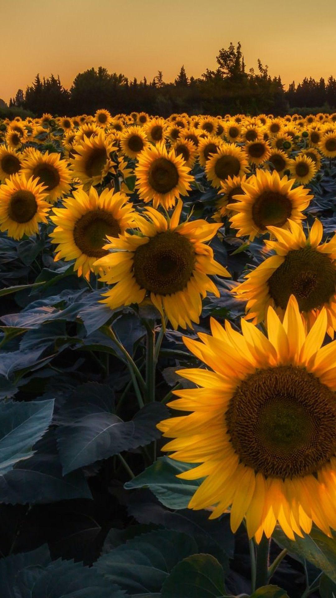 Vintage Sunflower 4k High Resolution Wallpapers ...