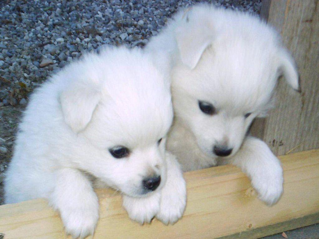 Babies Huskies Dog Wallpapers Wallpaper Cave