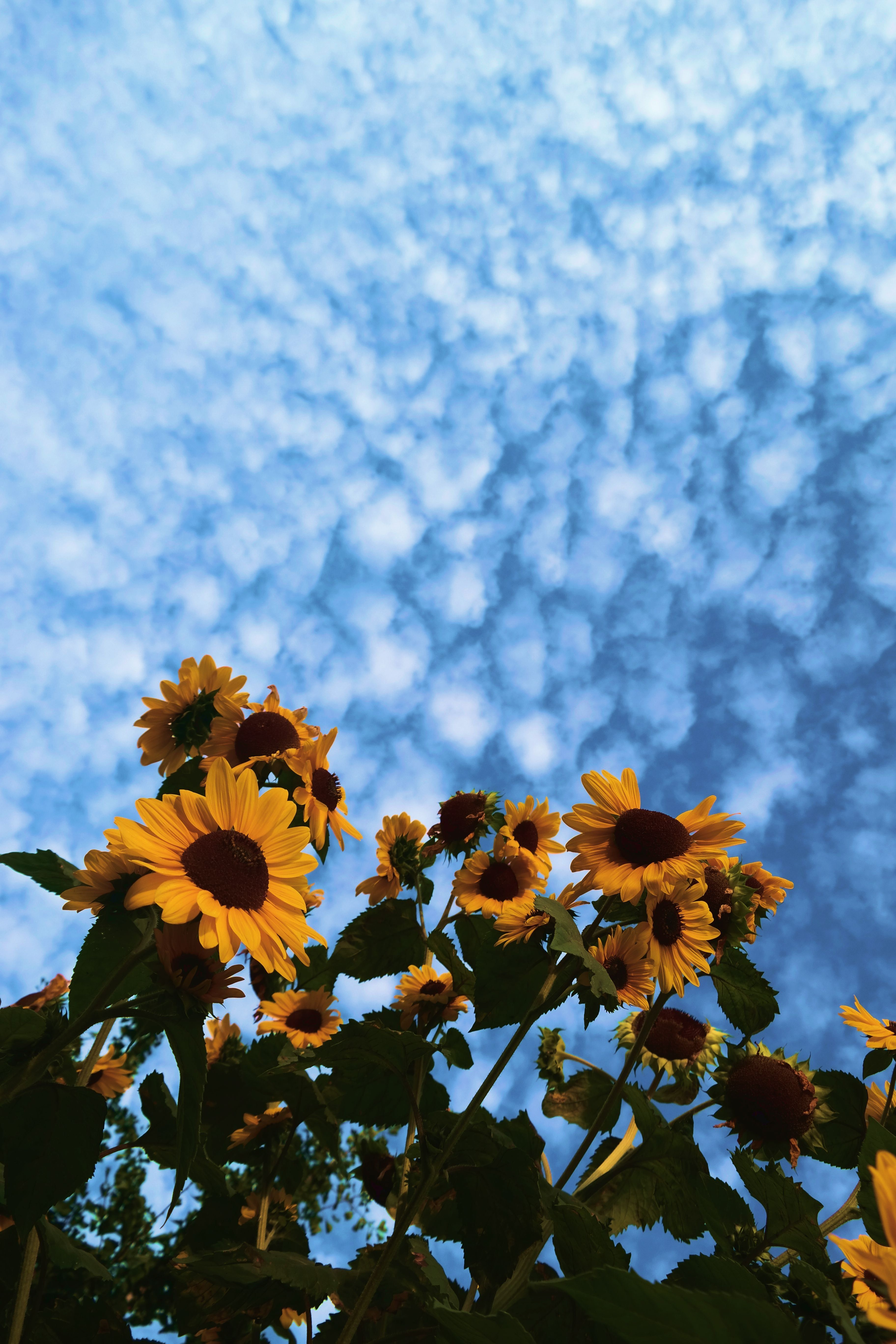 Aesthetic Sunflower Pictures Wallpapers Wallpaper Cave