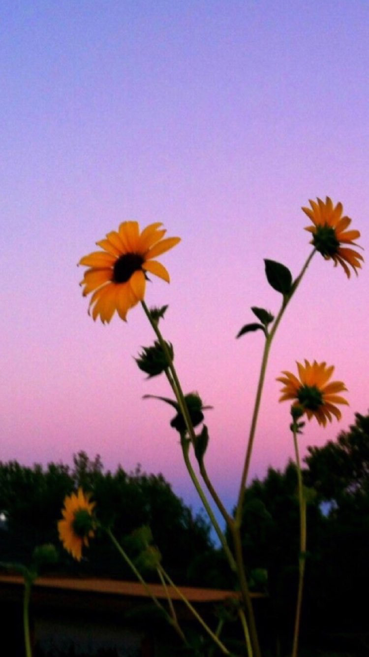 Aesthetic Sunflower HD Wallpapers - Wallpaper Cave