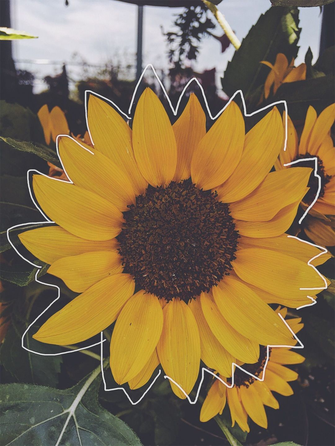 Aesthetic Sunflower Picture Wallpapers - Wallpaper Cave