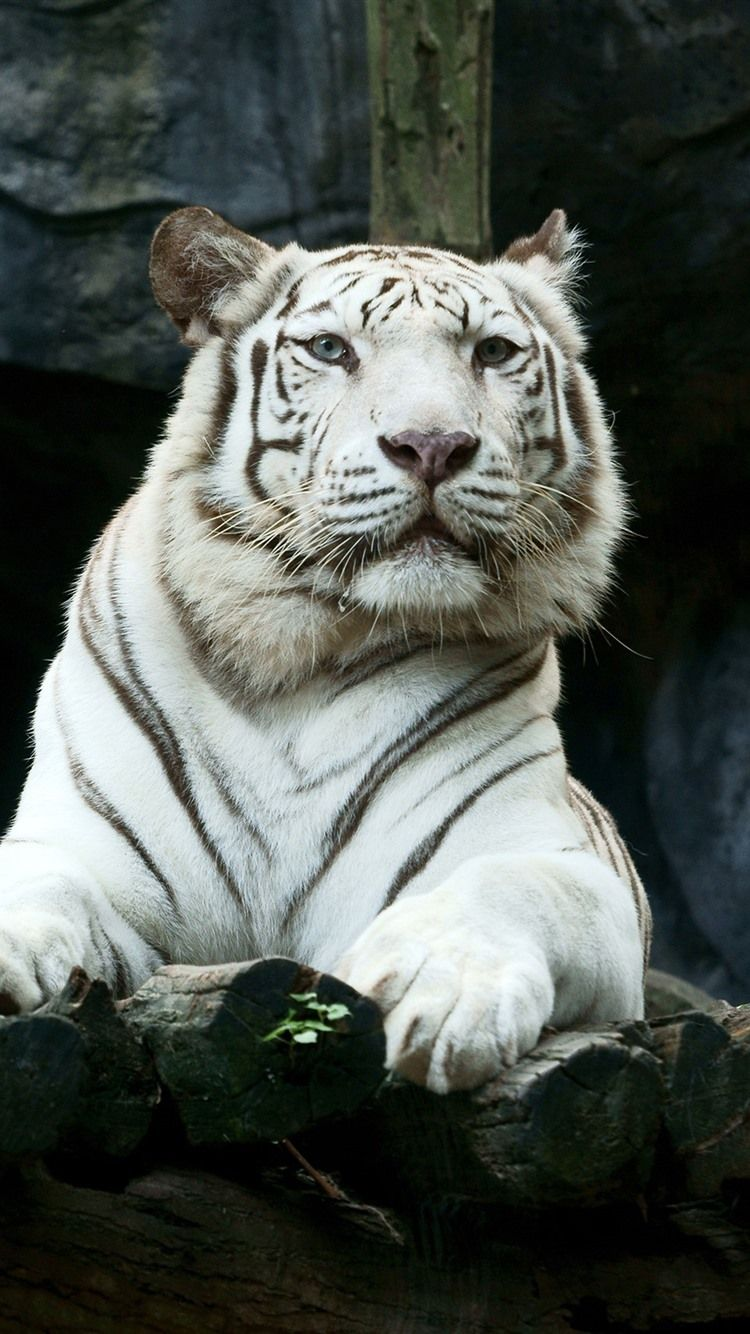 White Tiger Iphone Wallpapers Wallpaper Cave