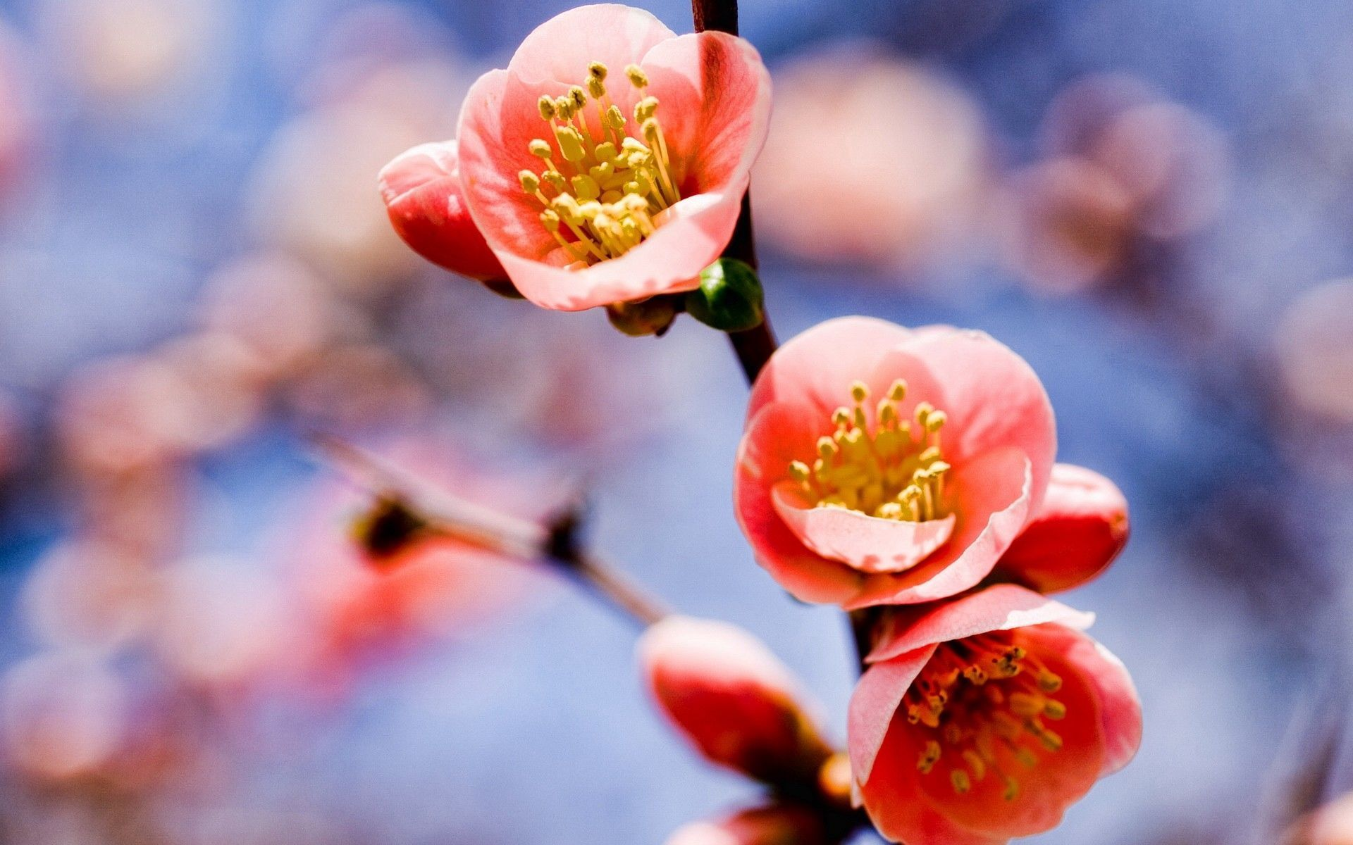 36 Spring Flowers Wallpapers