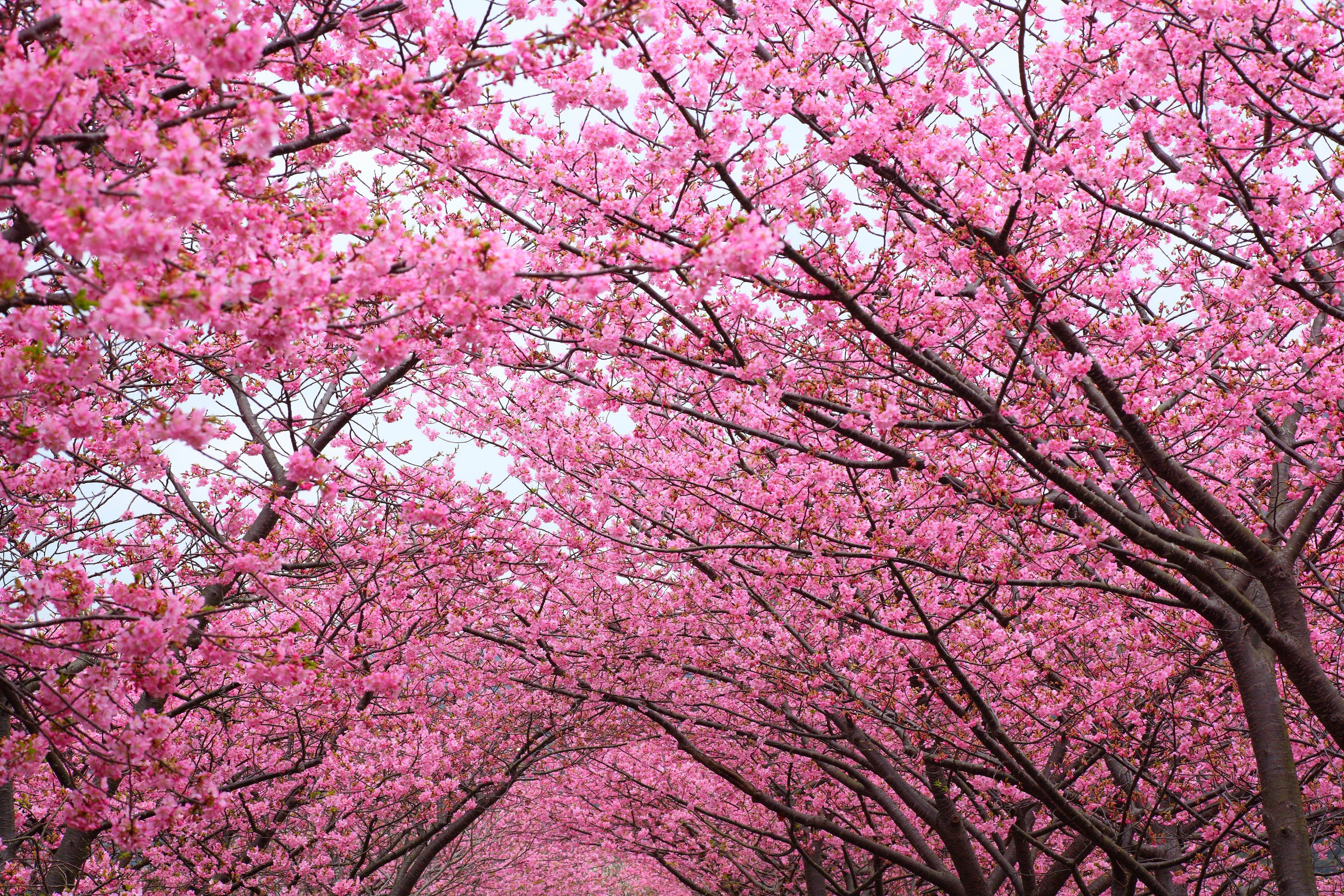 Cherry Blossom Trees Wallpapers - Wallpaper Cave