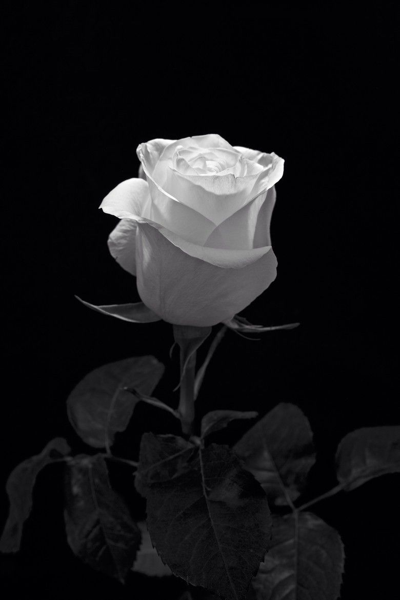 Black And White Rose Aesthetic 4k Wallpapers - Wallpaper Cave