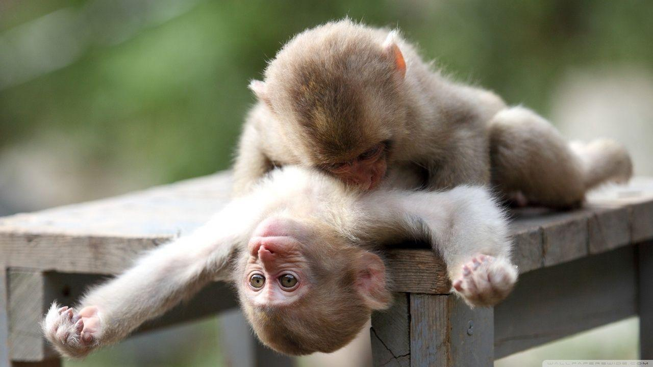 Baby Monkeys Wallpapers Wallpaper