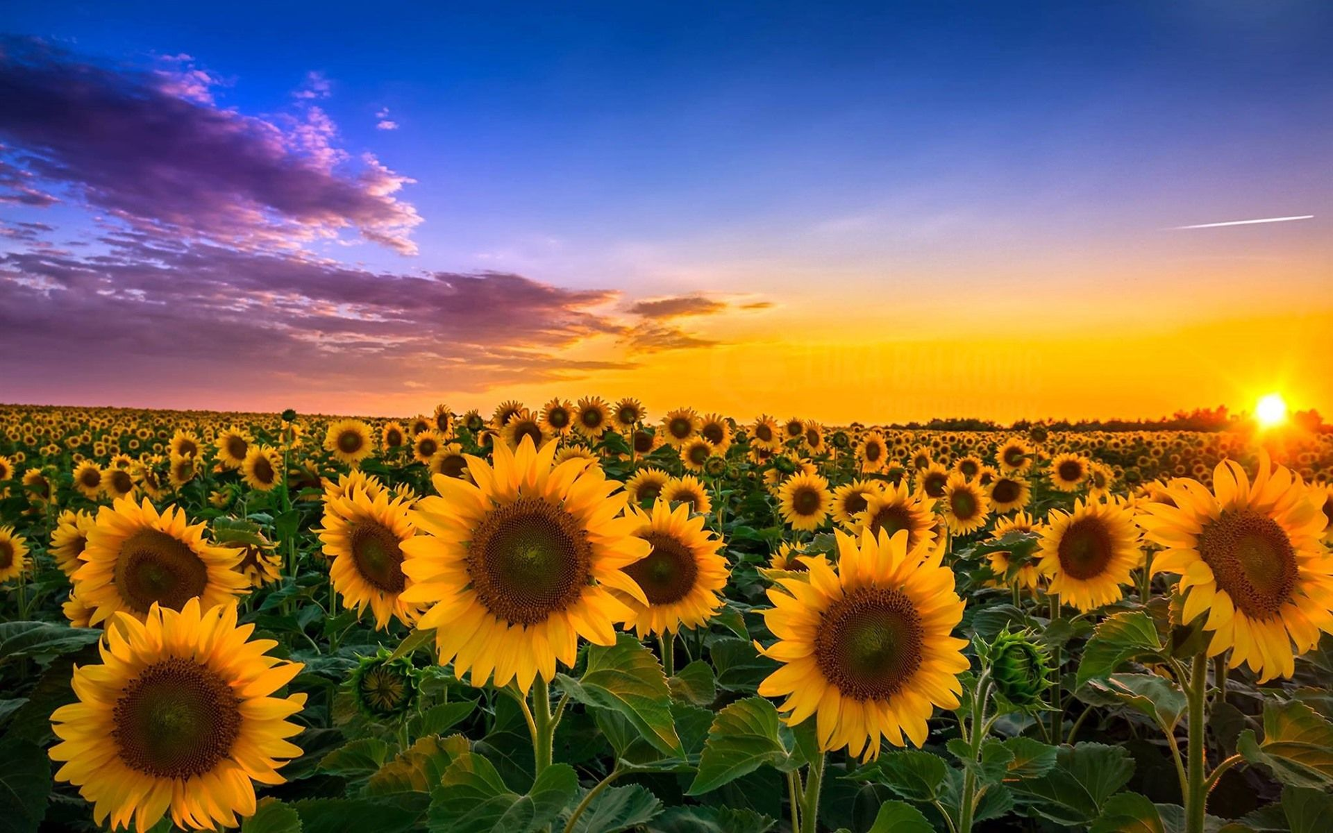 Sunny Sunflowers Wallpapers - Wallpaper Cave