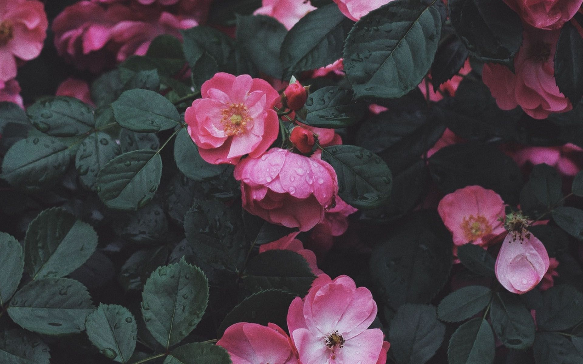 Aesthetic Roses Laptop Wallpapers Wallpaper Cave