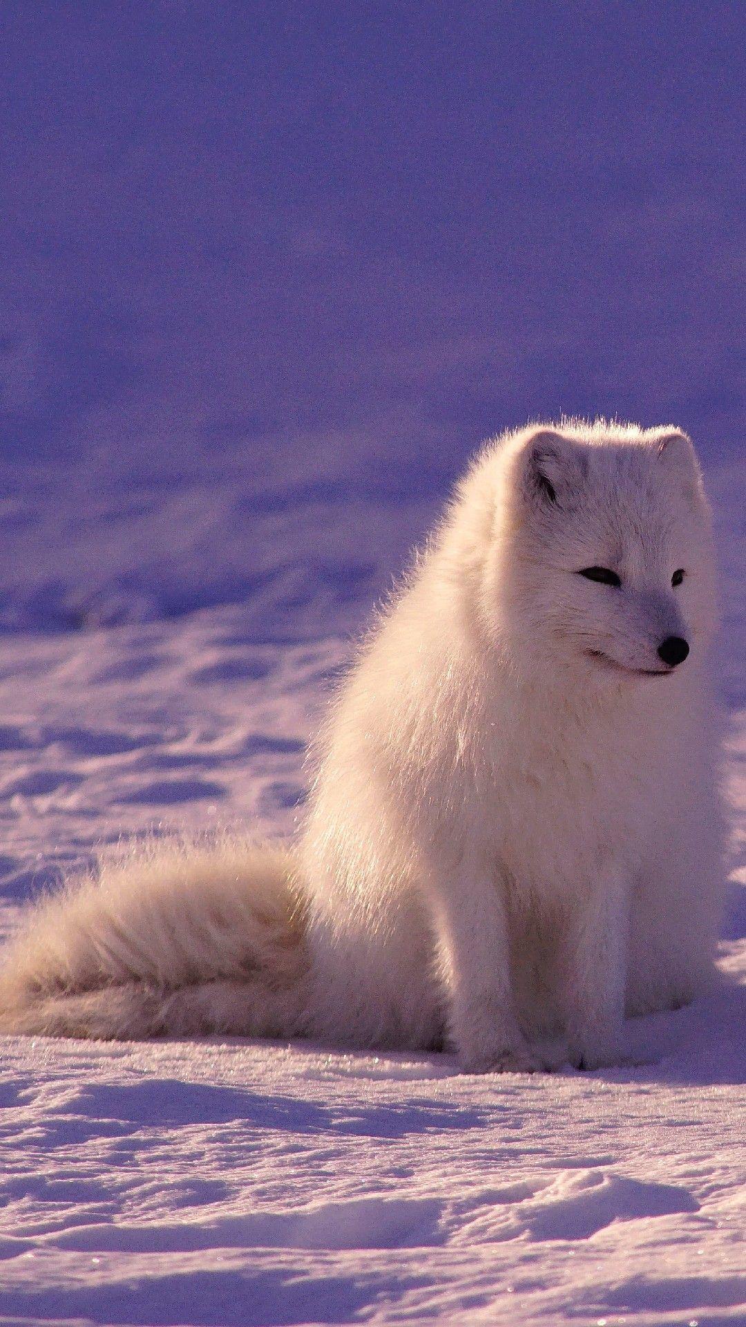 Arctic Fox Hd Wallpapers Wallpaper Cave