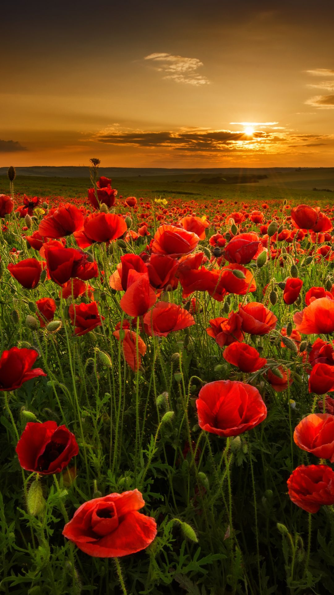 Aesthetic Red Flower Field Wallpapers - Wallpaper Cave