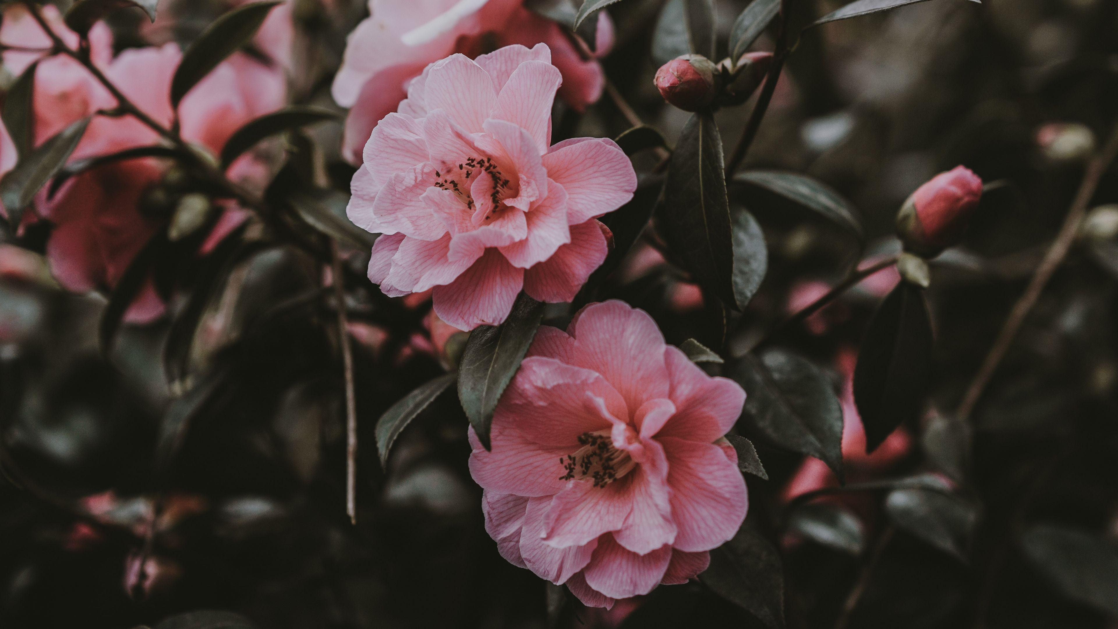 Pink Flowers Aesthetic Desktop Wallpapers - Wallpaper Cave