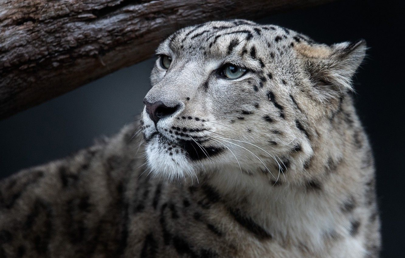 Snow Leopard Close Up Wallpapers - Wallpaper Cave