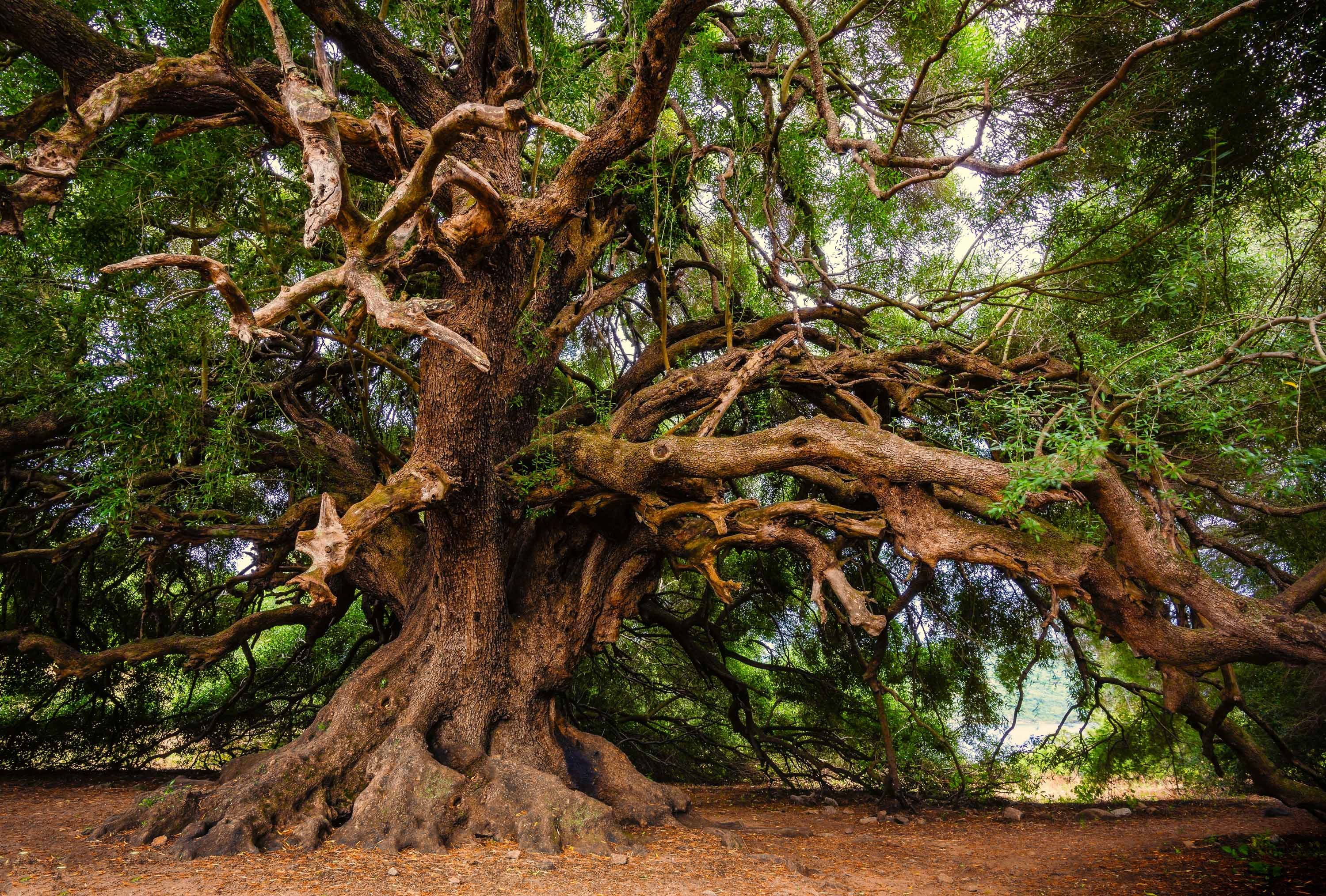 Olive Tree Wallpapers Wallpaper Cave