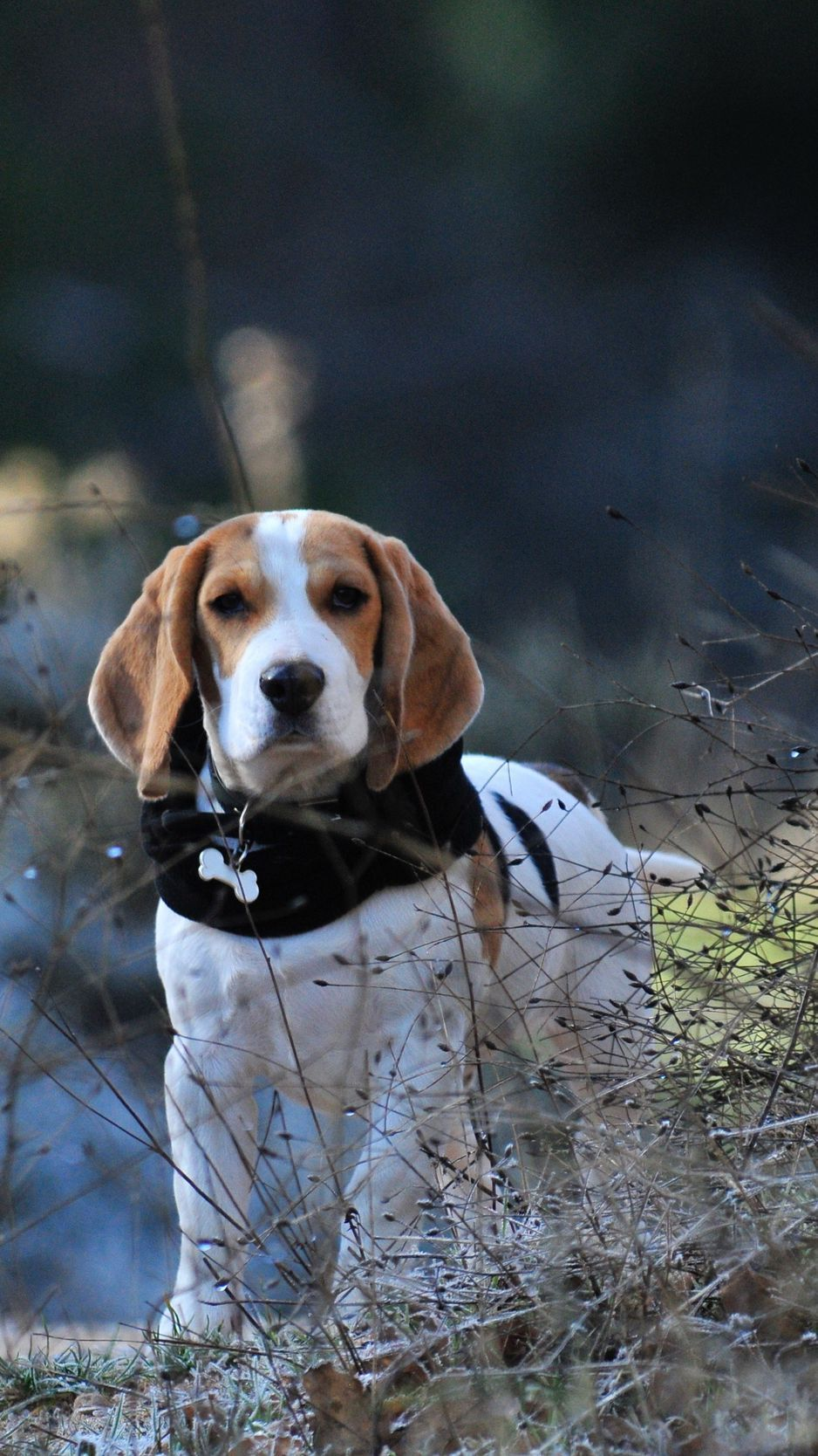 Animal Beagle Hd Wallpapers Wallpaper Cave