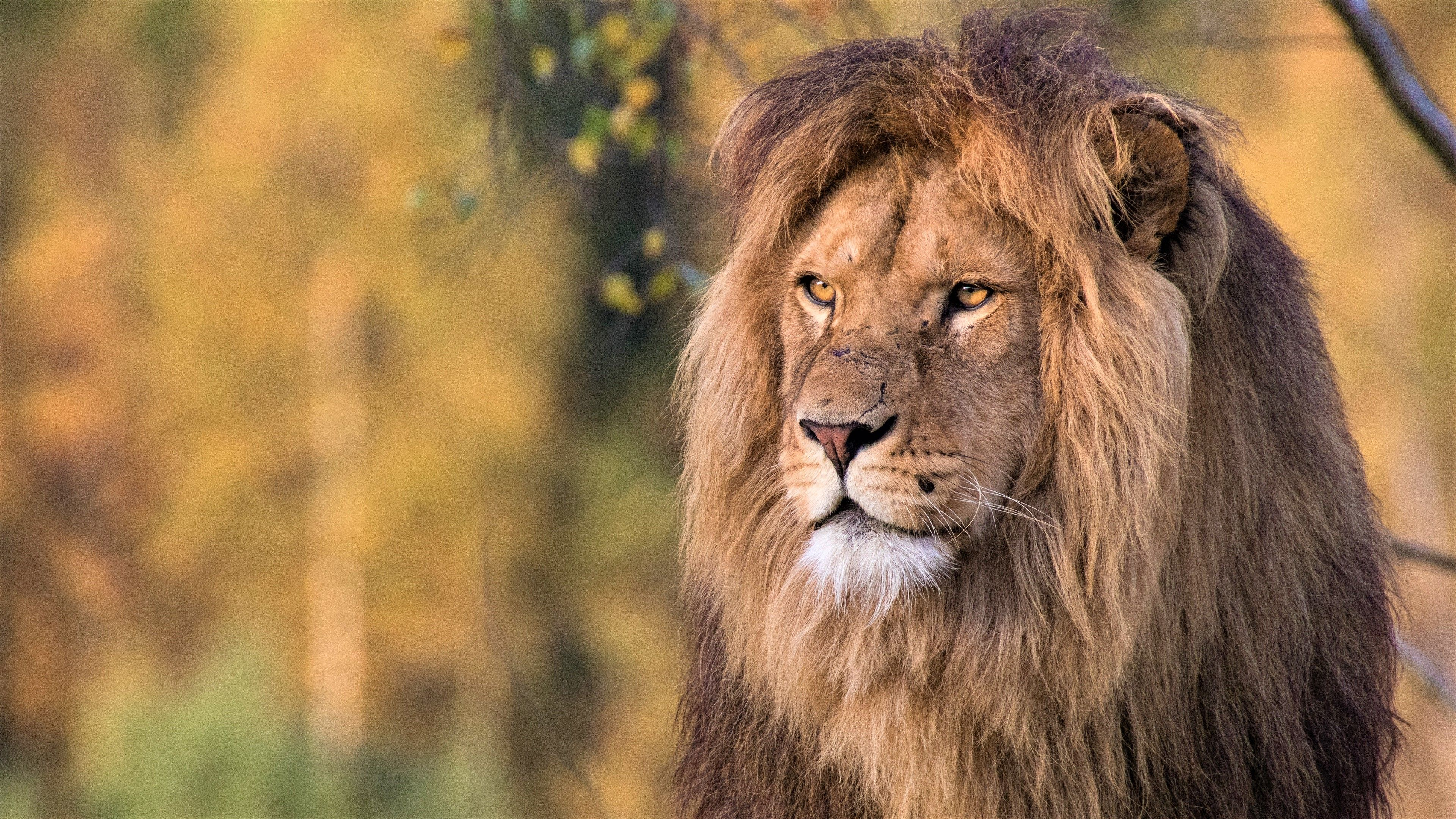 Lion 4k Wallpapers - Wallpaper Cave