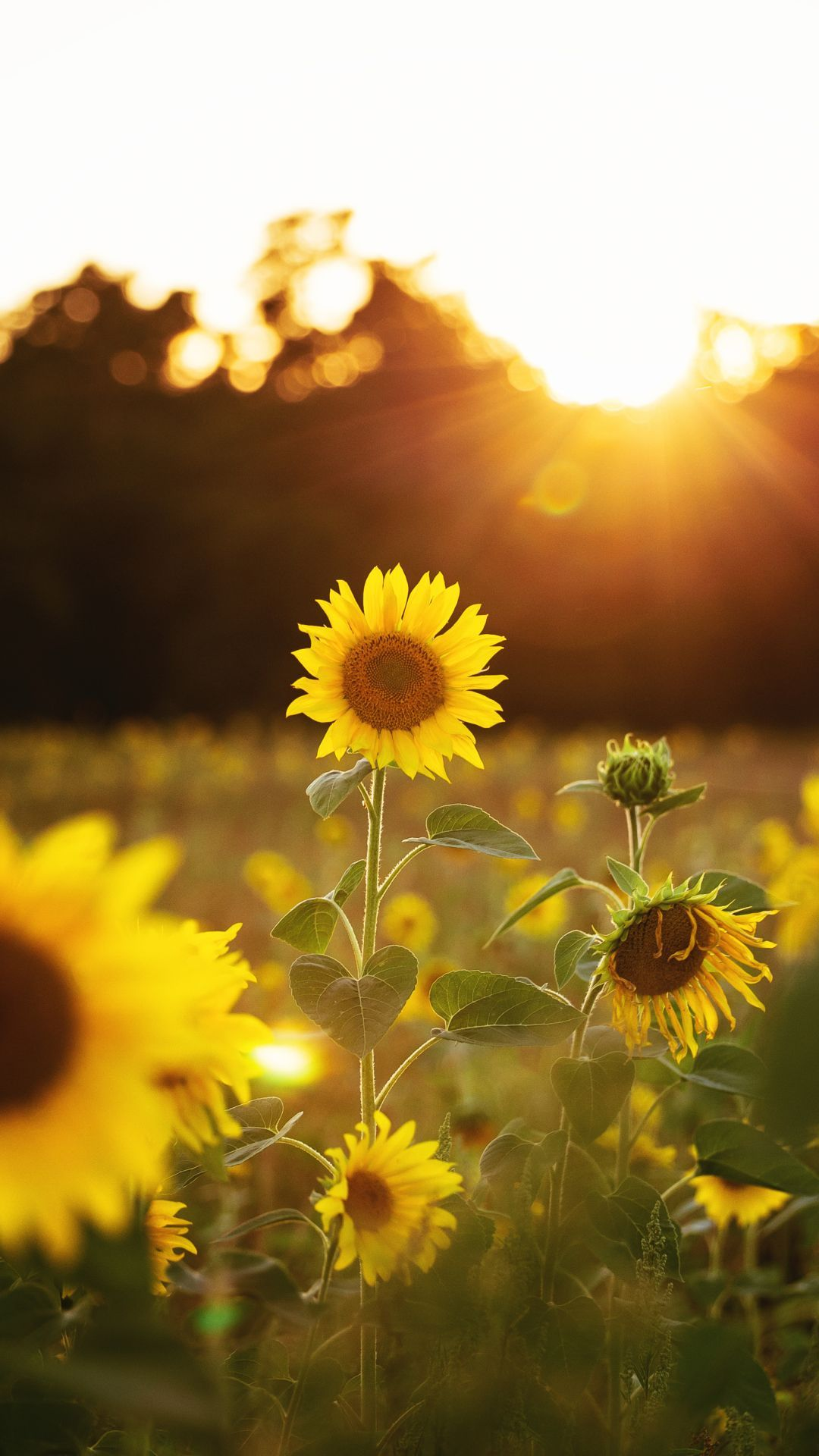 Sunflower Mobile HD Wallpapers - Wallpaper Cave