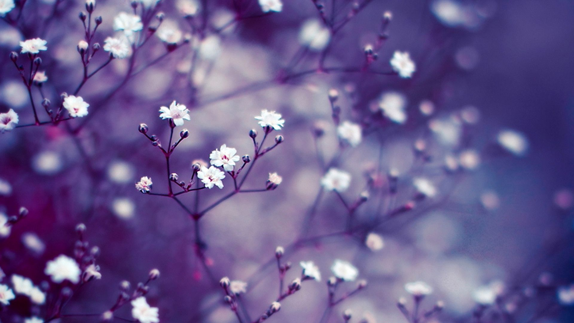 Lavender Flower Wallpapers