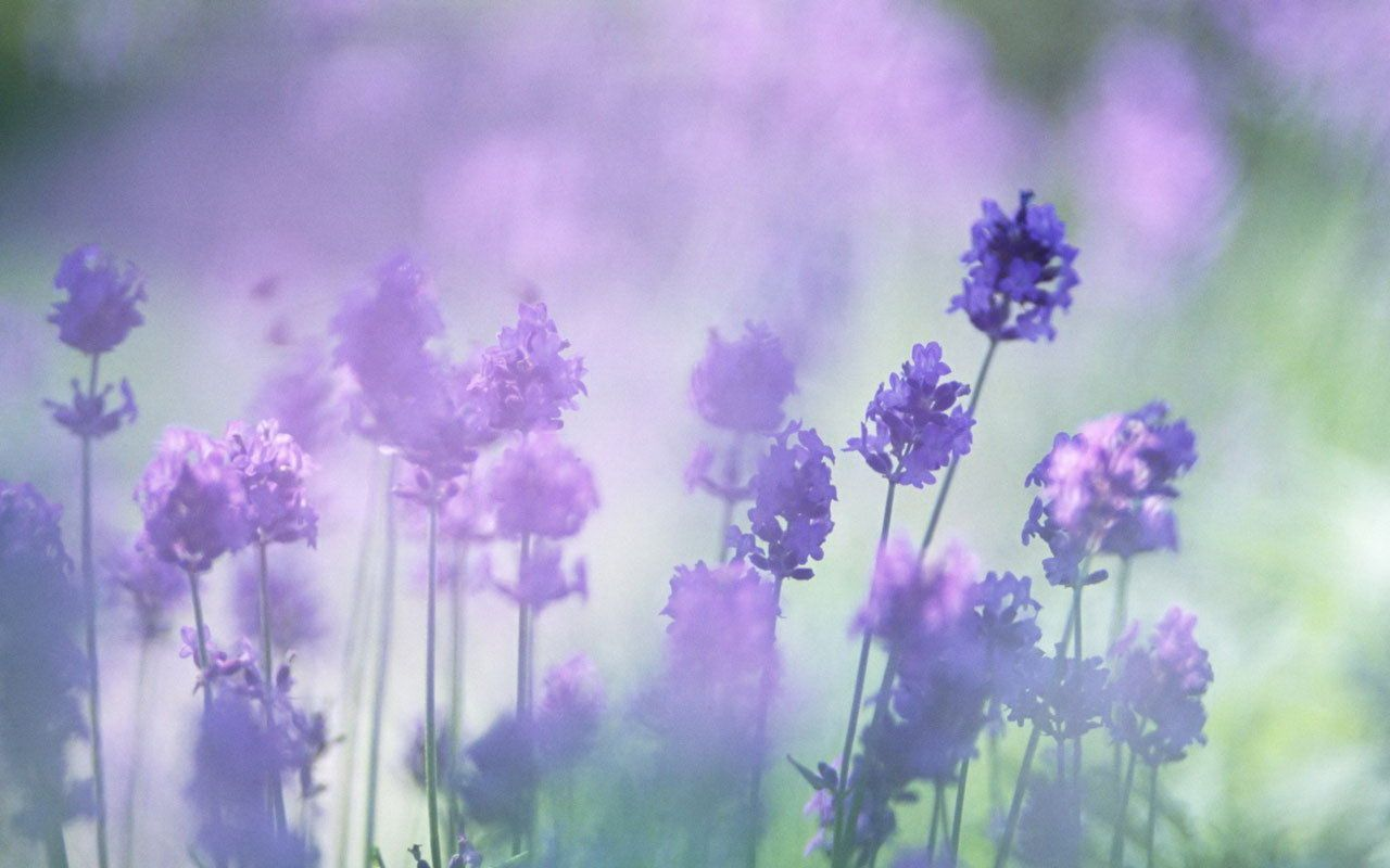 Lavender Flower Backgrounds Group