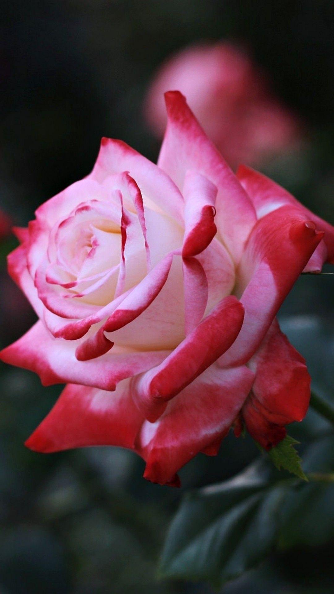 Dark Pink Rose Hd Iphone Wallpapers Wallpaper Cave