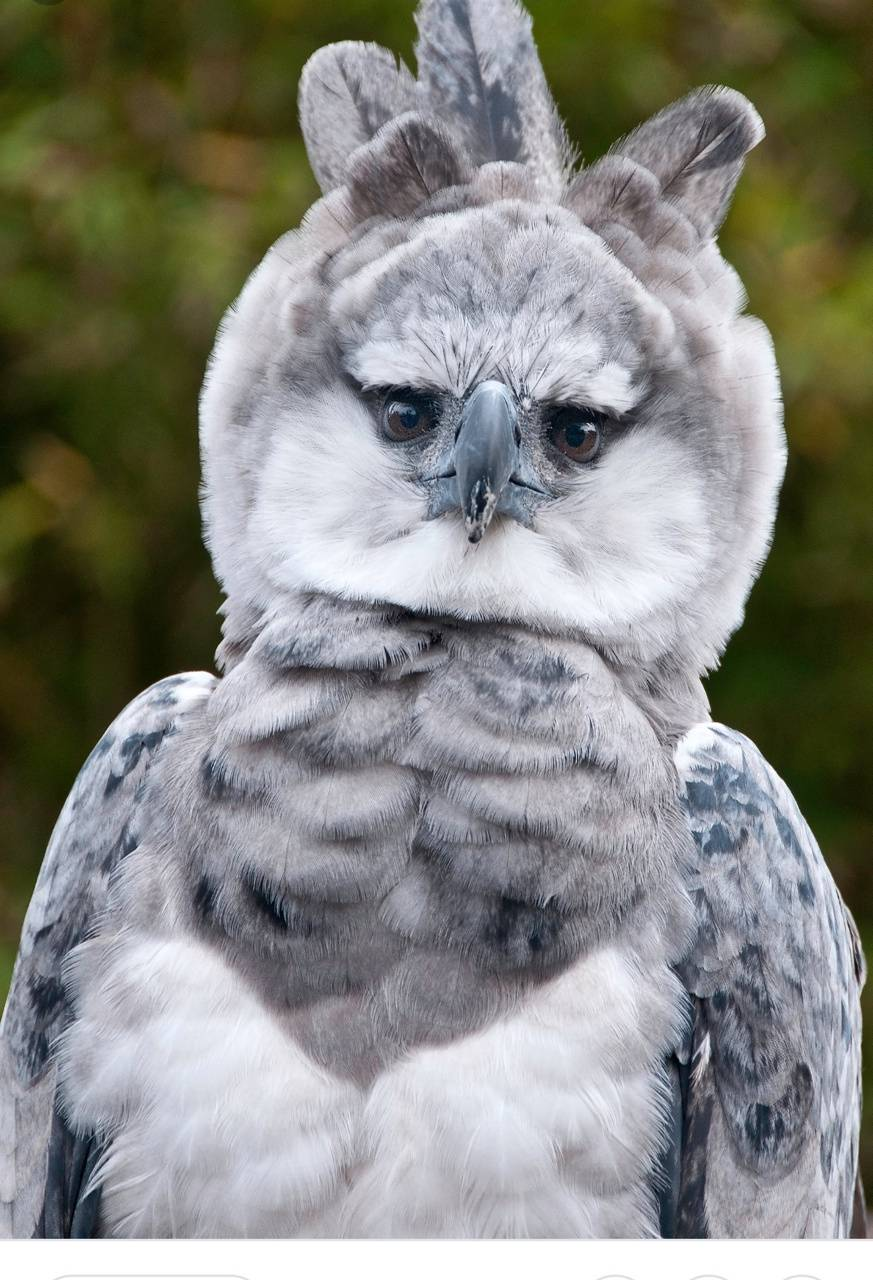 Harpy Eagle Wallpapers - Wallpaper Cave