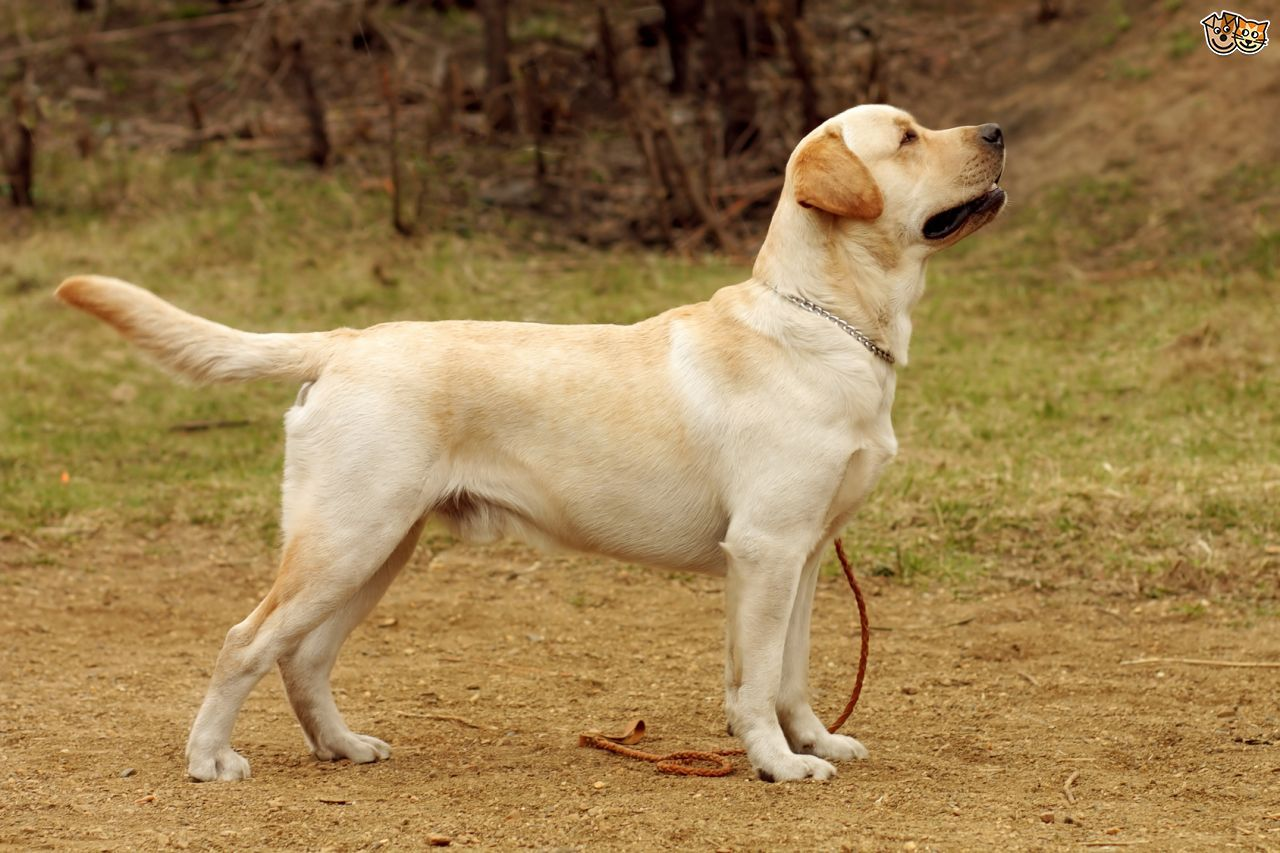 Labrador Retriever wallpapers, Animal, HQ Labrador Retriever pictures