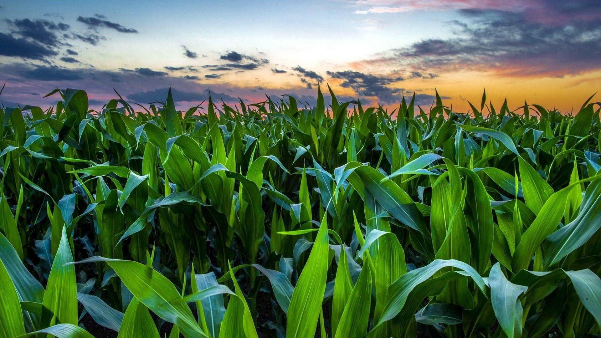 Corn Fields Wallpapers Wallpaper Cave