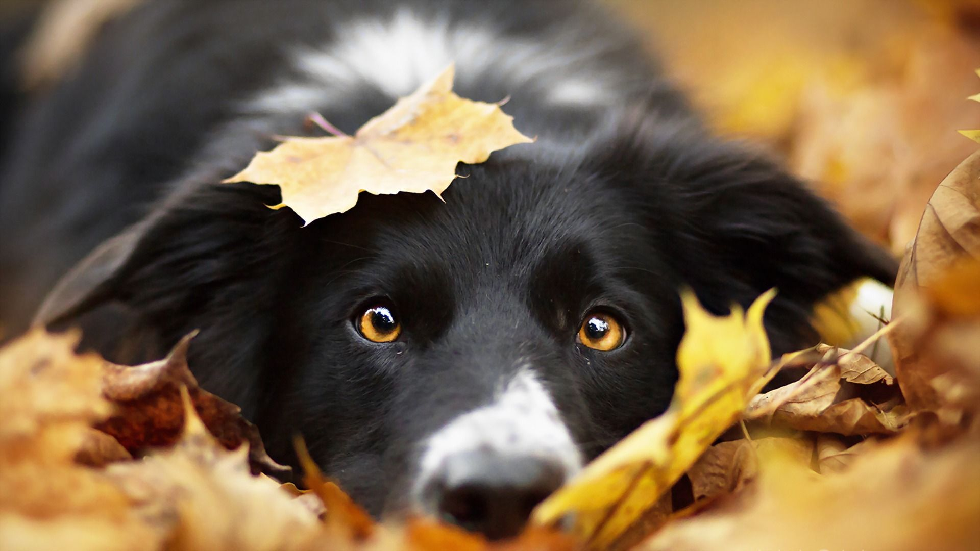 Autumn Dog Wallpapers - Wallpaper Cave