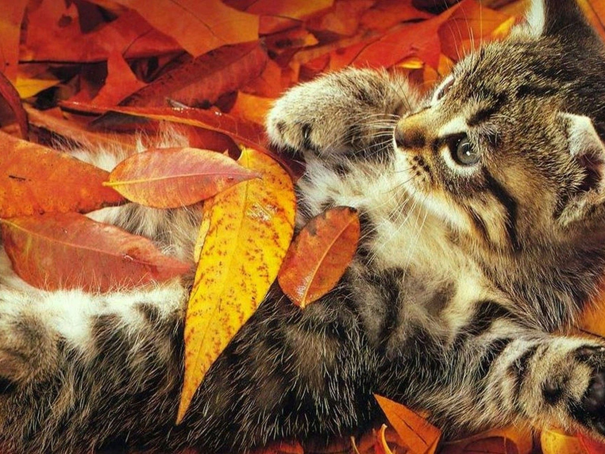 Fall Cats Wallpapers Wallpaper Cave