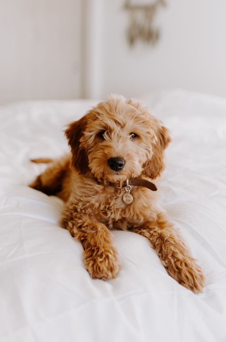 Labradoodle Puppy Wallpapers Wallpaper Cave