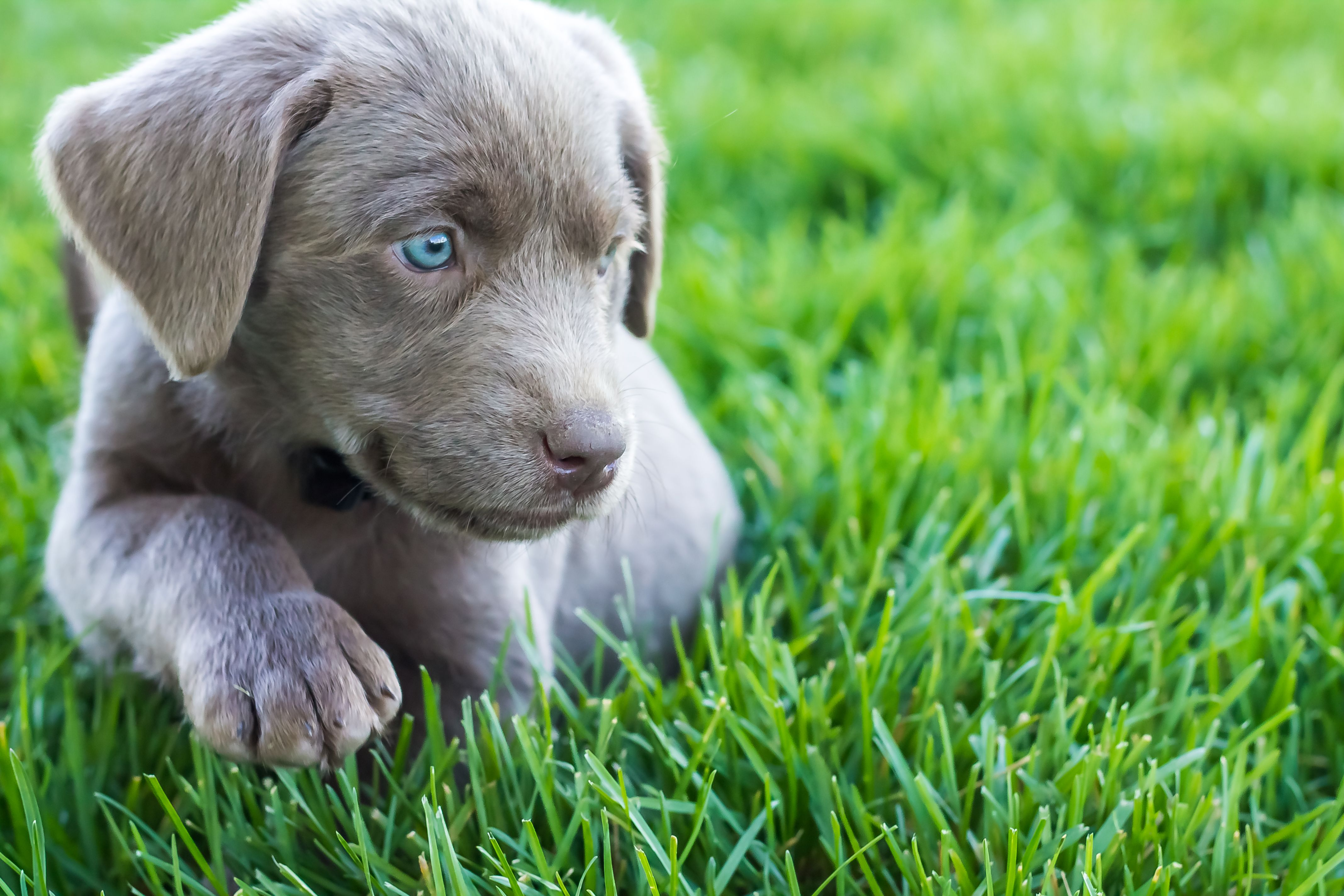 Female Silver Lab Puppy