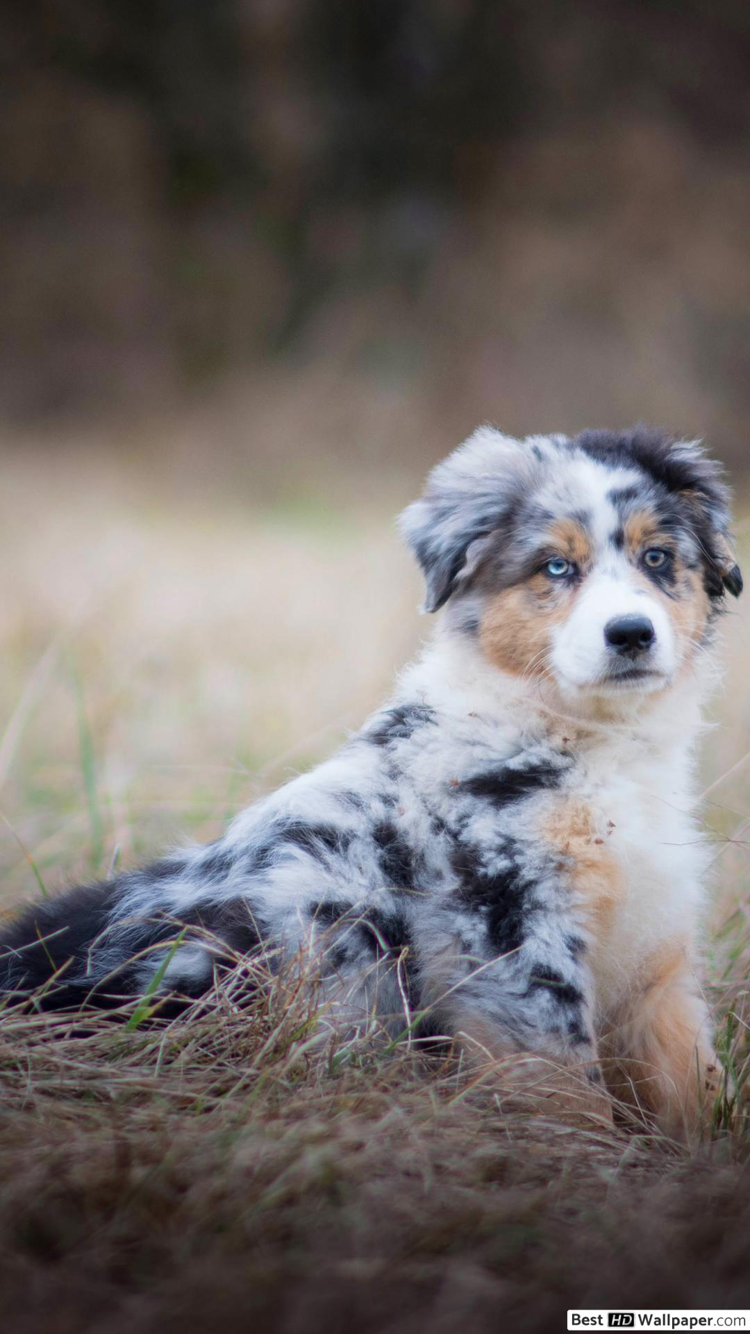 Australian Shepherd Puppy Wallpapers Wallpaper Cave