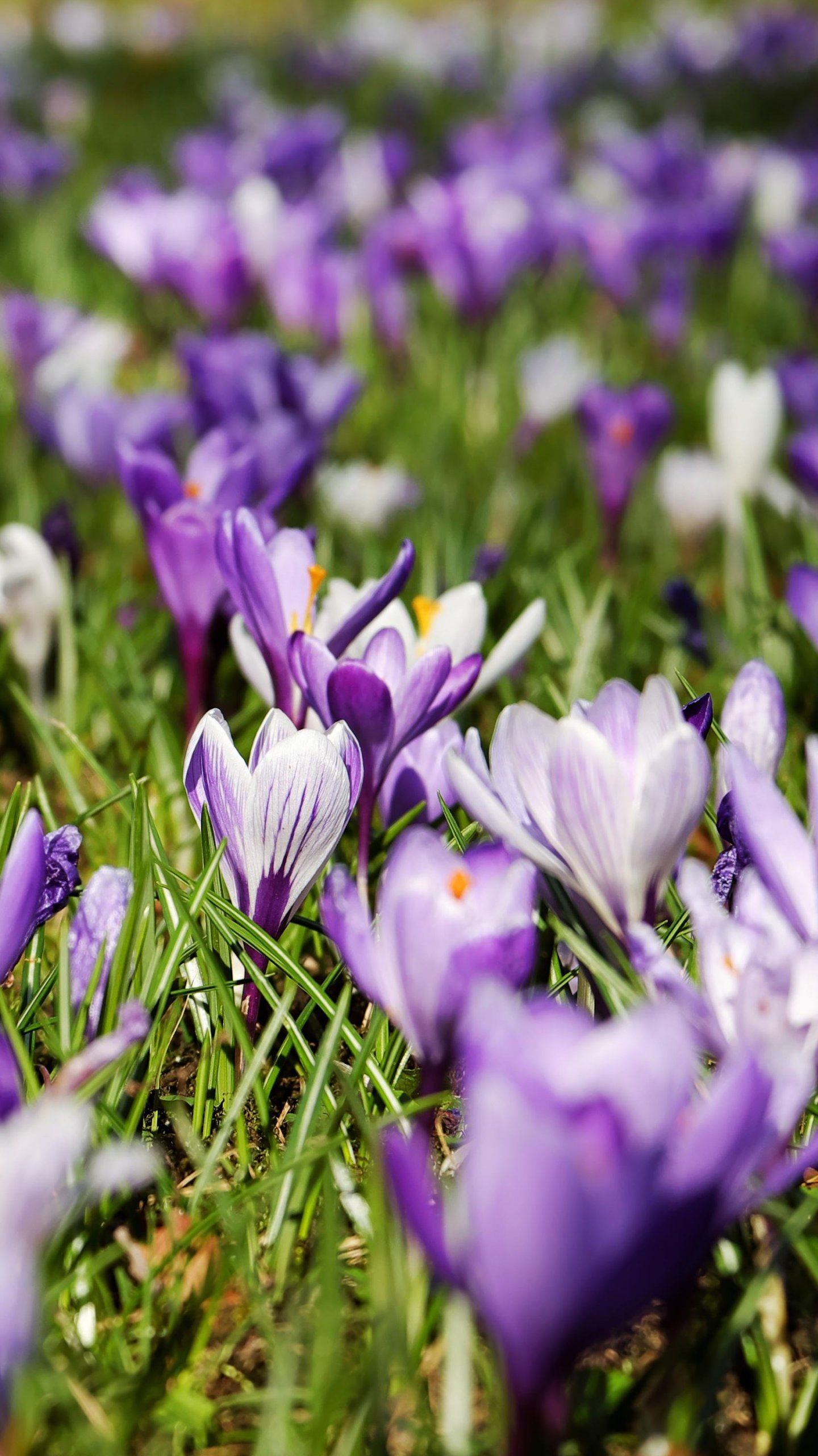 Spring Crocus Flowers Wallpapers