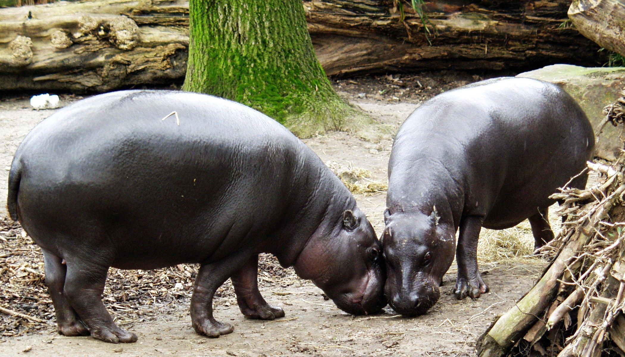 List of Animals - Pygmy Hippopotamus