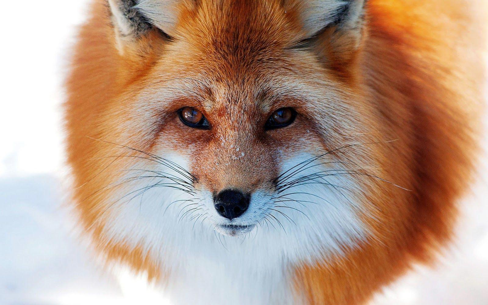 Images For > Snow Red Fox