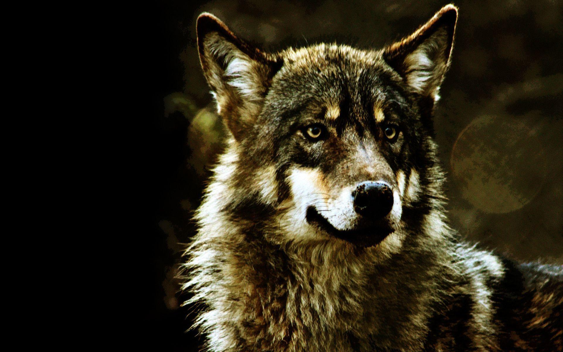 Gray wolf wallpapers wallpaper cave for Grey 3d wallpaper
