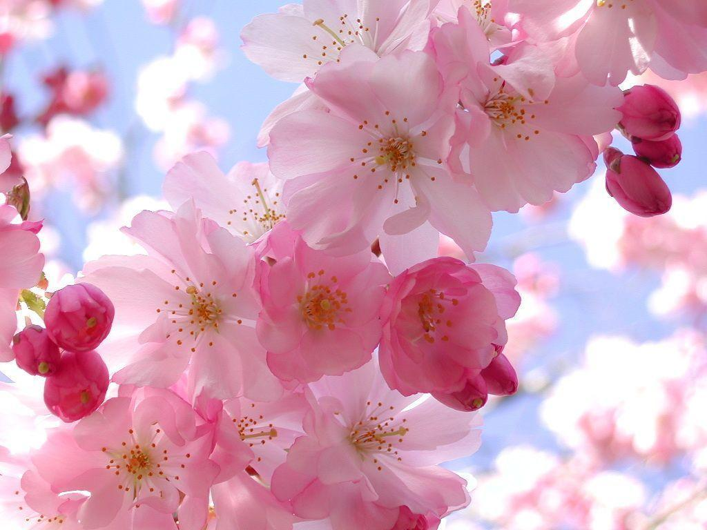 Pink Flowers Computer Wallpaper