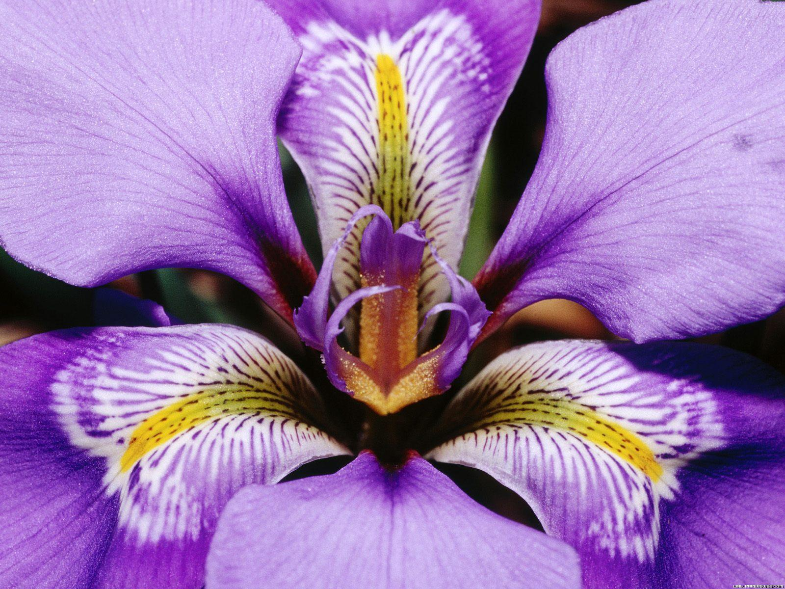 Iris Wallpapers Wallpaper Cave