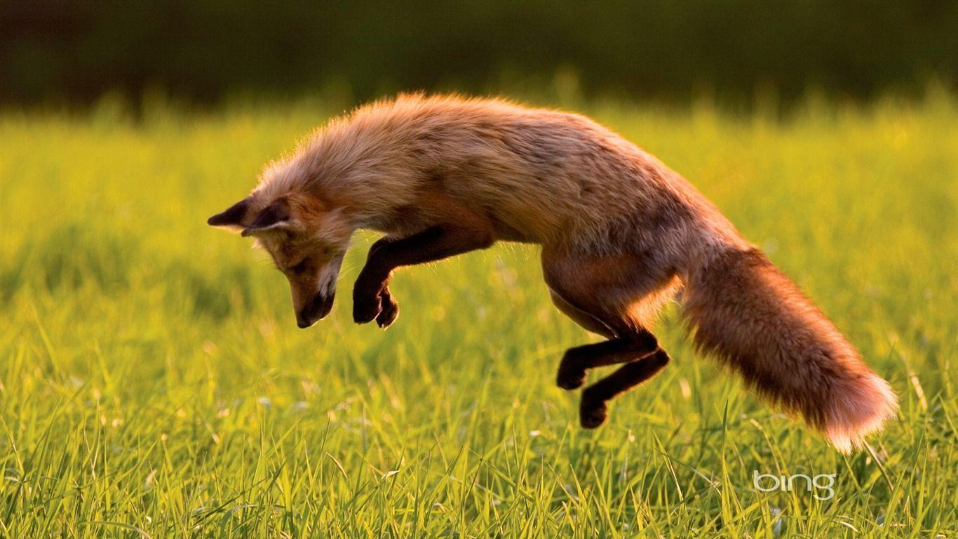 Canadian Red Fox-Bing Wallpaper - 1366x768 wallpaper download -