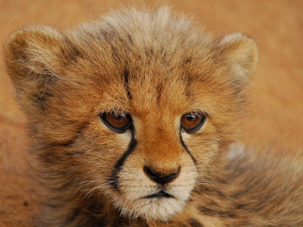 Baby Cheetah Wallpaper - WallpaperSafari