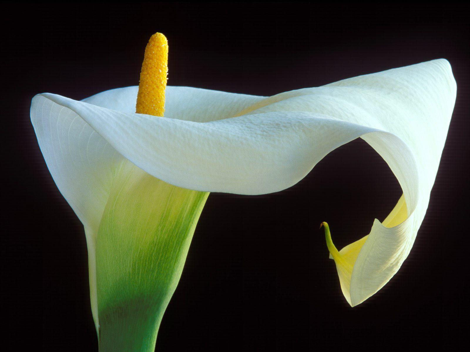 Calla Lily HD Wallpapers Free Download New HD Wallpapers Download