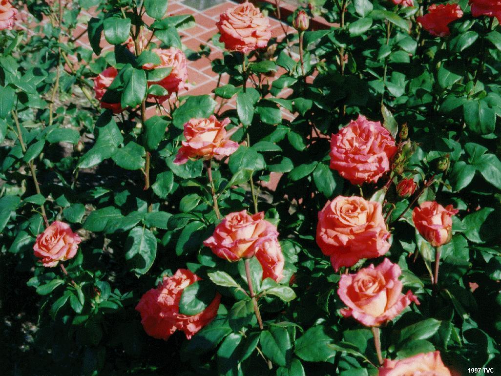 White Rose Garden Wallpaper