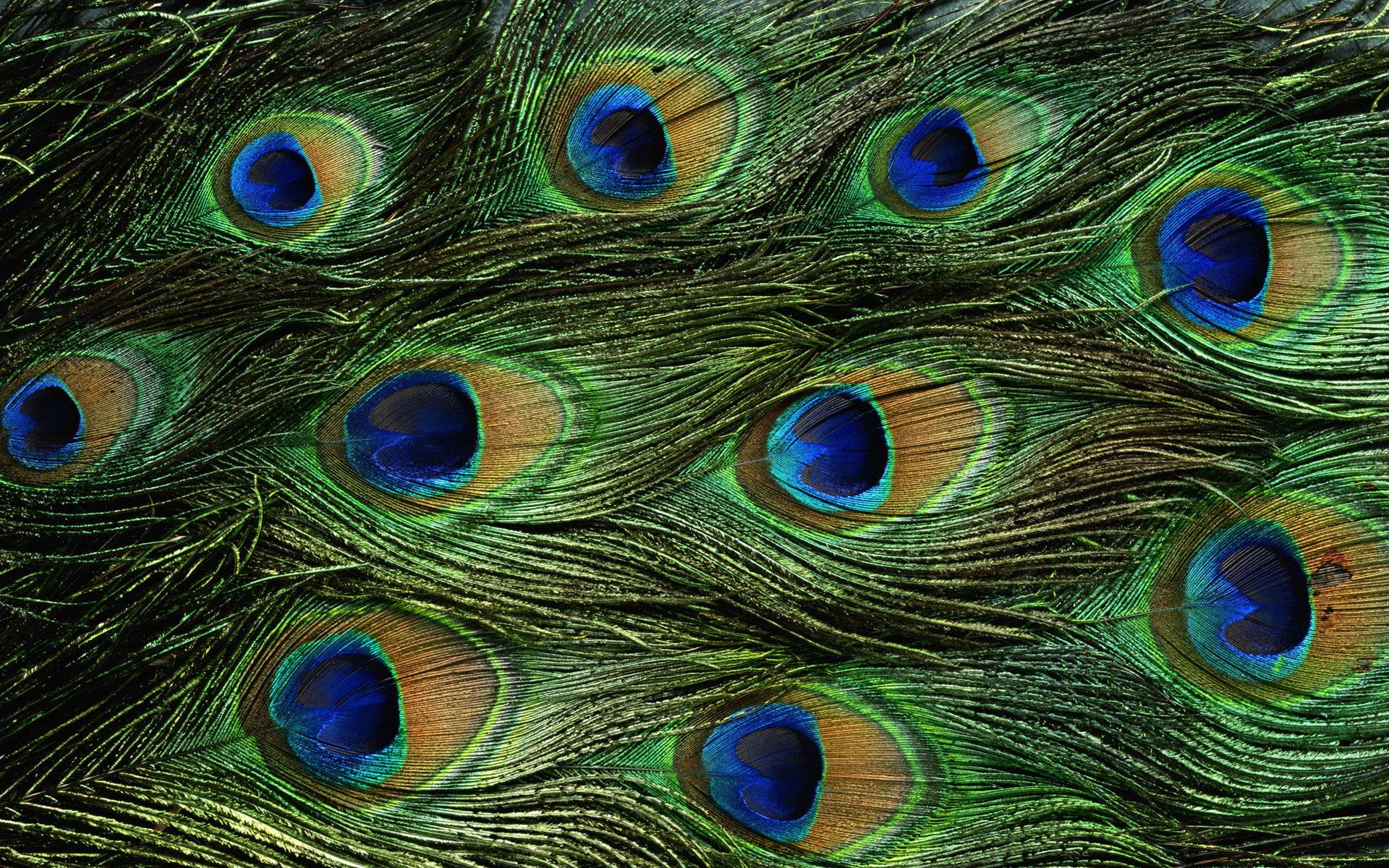 Peacock wallpapers - photo#16