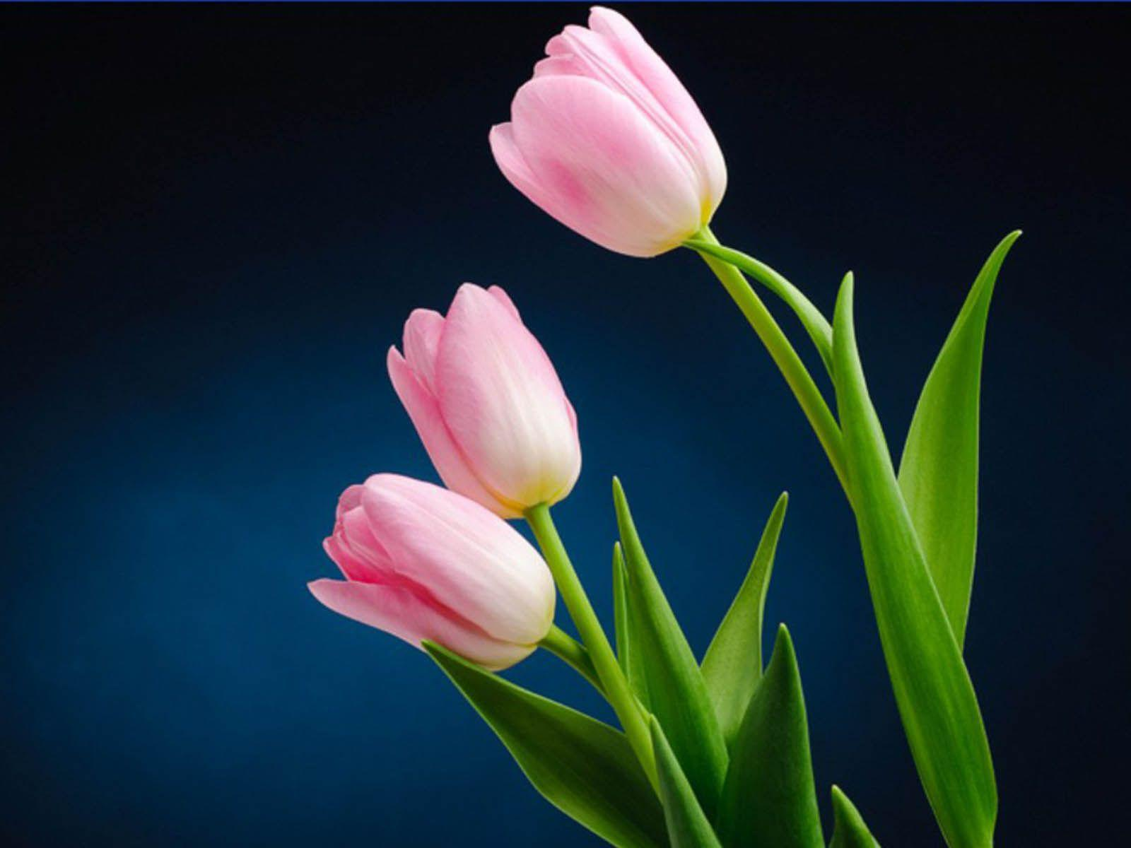 Pink Tulips Wallpapers